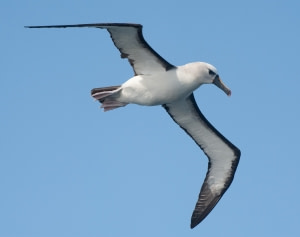 Albatrosse der Nightingale Island