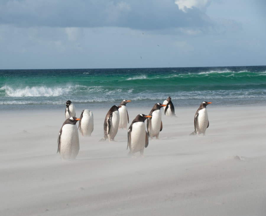 Gentoo's on a windy Falkland beach