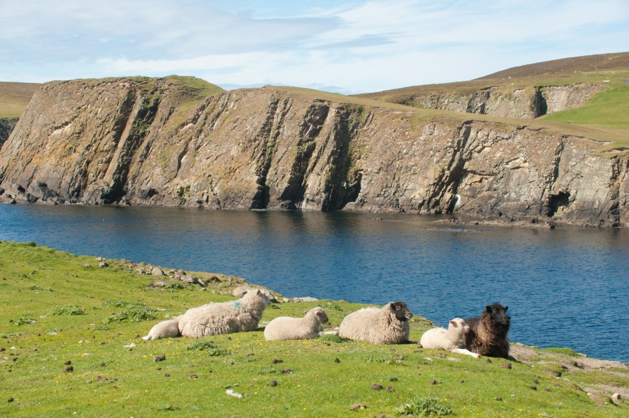 The sheep of Fair Isle lounging in the grass