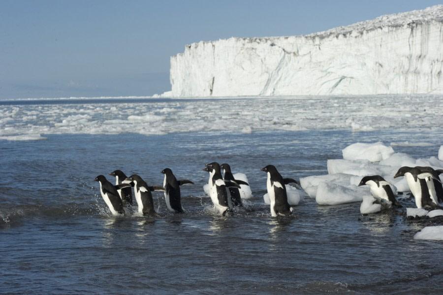 Ross Sea Adélie Penguins