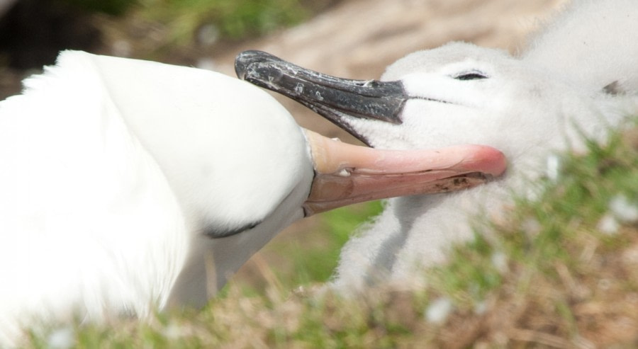 Black-browed Albatross grooming