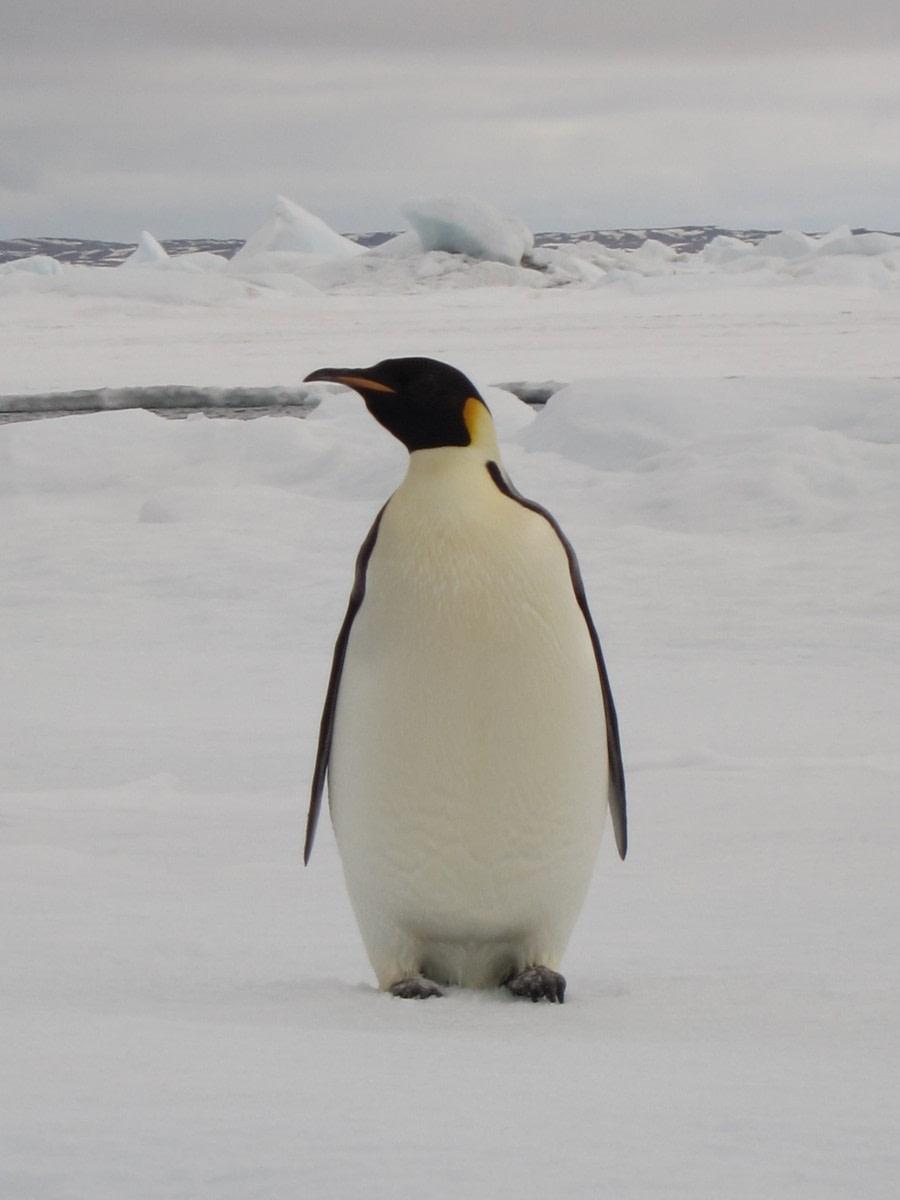 Emperor Penguin in the Weddel Sea