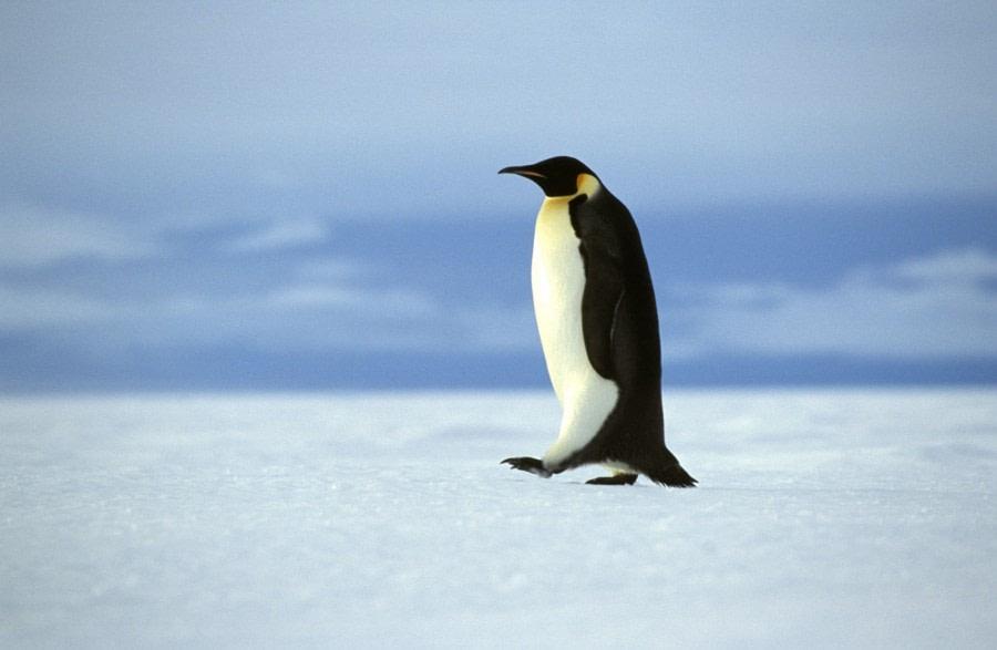 Weddell Sea Emperor Penguin