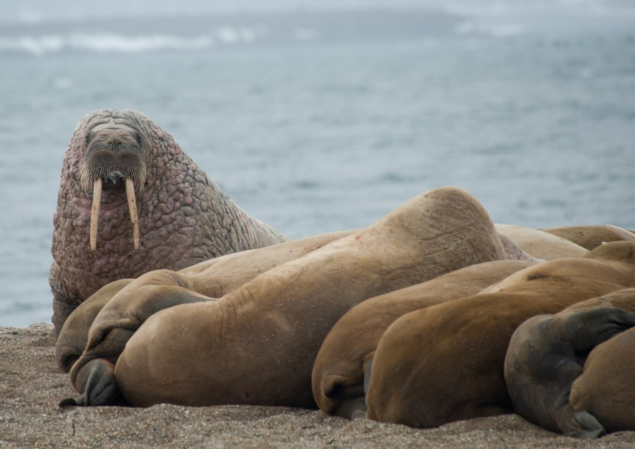 Herd of Walrus