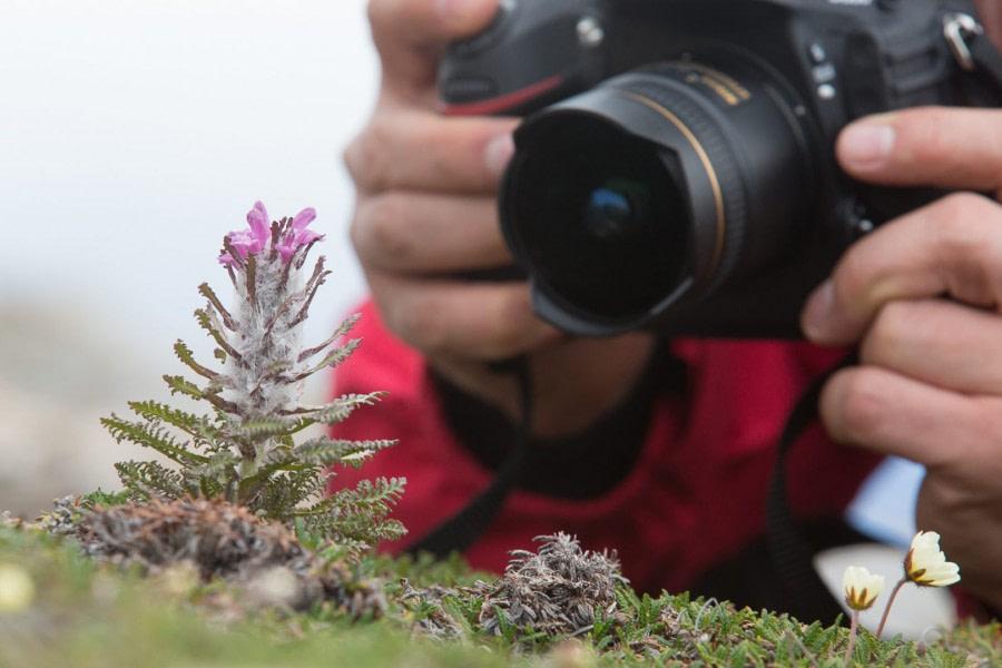 Photographing a Spitsbergen flower, Wolly Lousewort | Liefdefjord, Spitsbergen