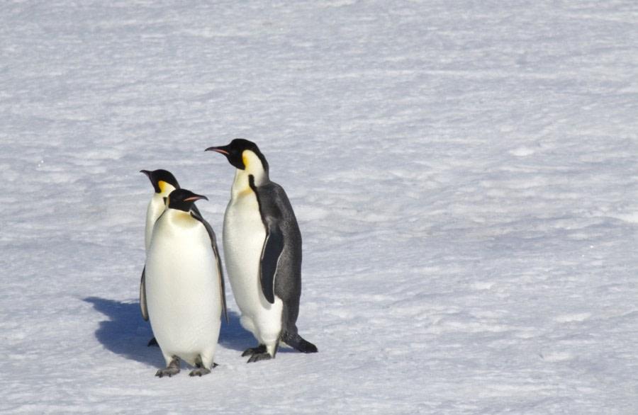 emperor penguins_snow hill island (c) douglas newson-oceanwide expeditions_bw10.jpg