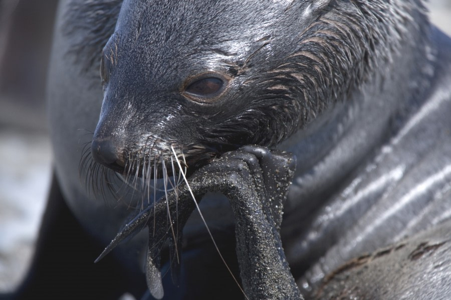 Fur Seal thinking © Wim van Passel-Oceanwide Expeditions IMG_5321.jpg