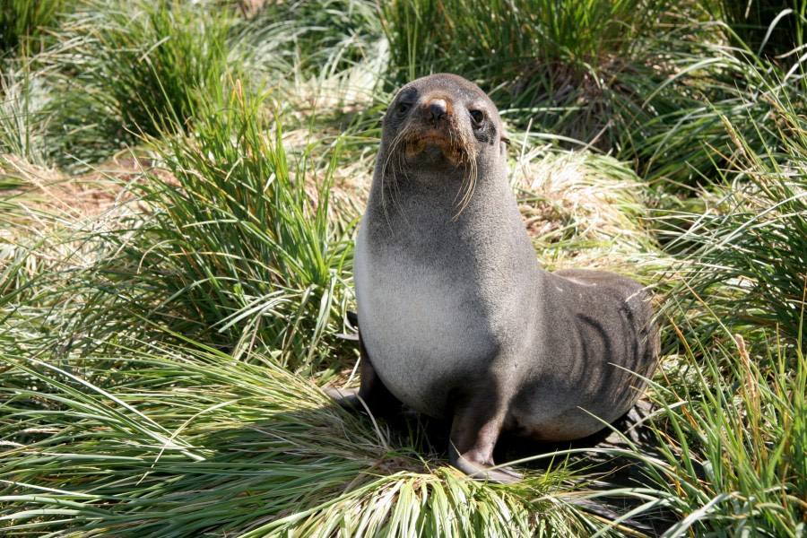 fur seal_falklands-south georgia_ant peninsula © jan bryde-oceanwide expeditions (13).JPG