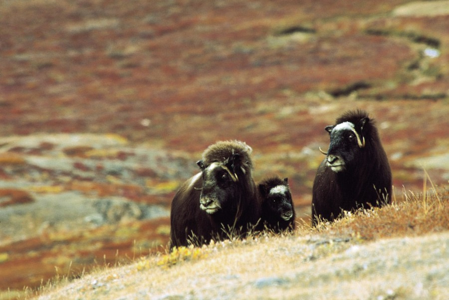 Musk Oxen of Scoresby Sund, East Greenland