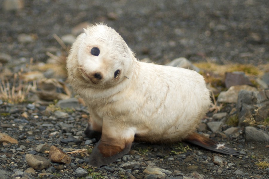 Baby_fur_seal,_South_Georgia.jpg