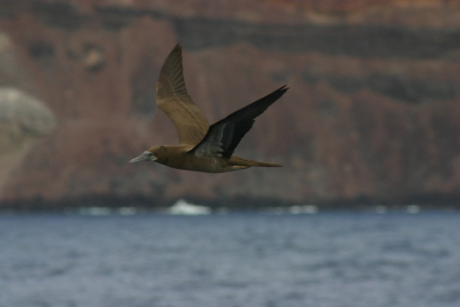 Brown Booby, Ascension Island