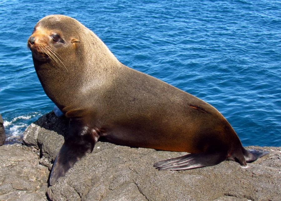 Galapagos_Fur_Seal,_Santiago_Island.jpg
