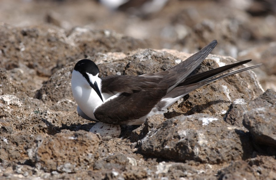 Sooty Tern, Ascension Island