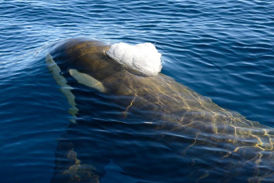Orca, Ross Sea