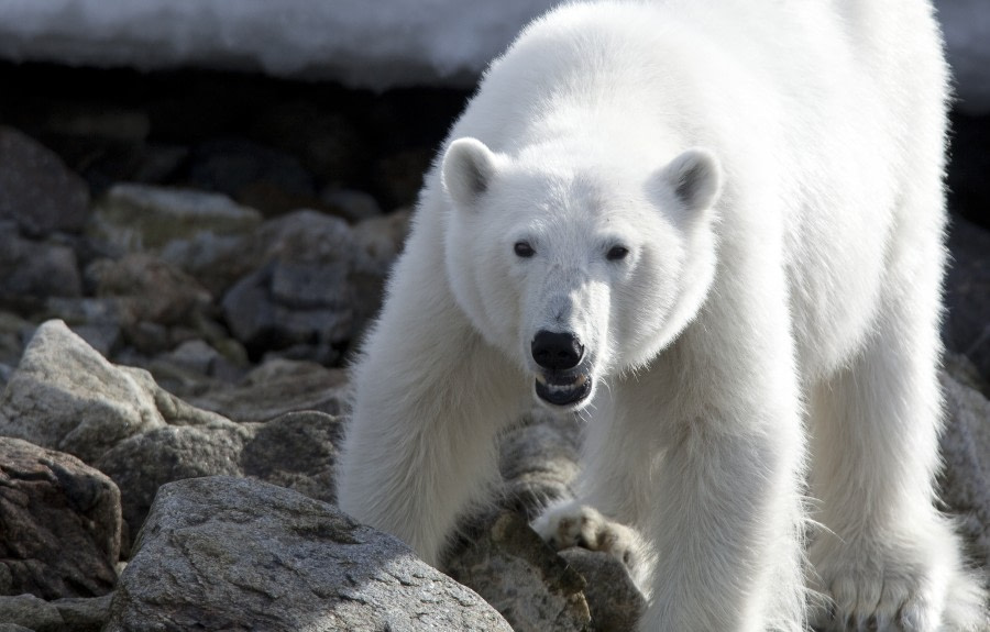 Polar bear, North spitsbergen © Wim van Passel-Oceanwide Expeditions
