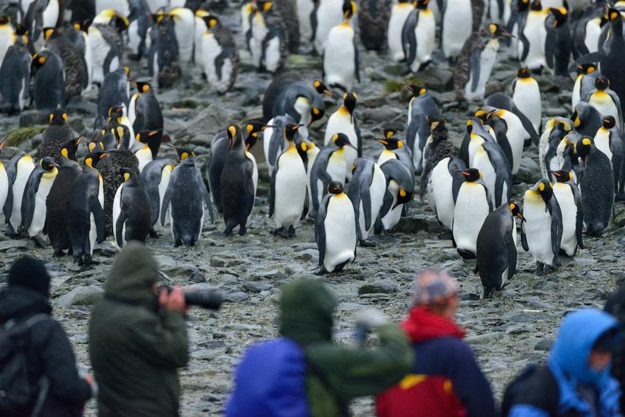 King Penguin_Right Whale Bay_South Georgia_November