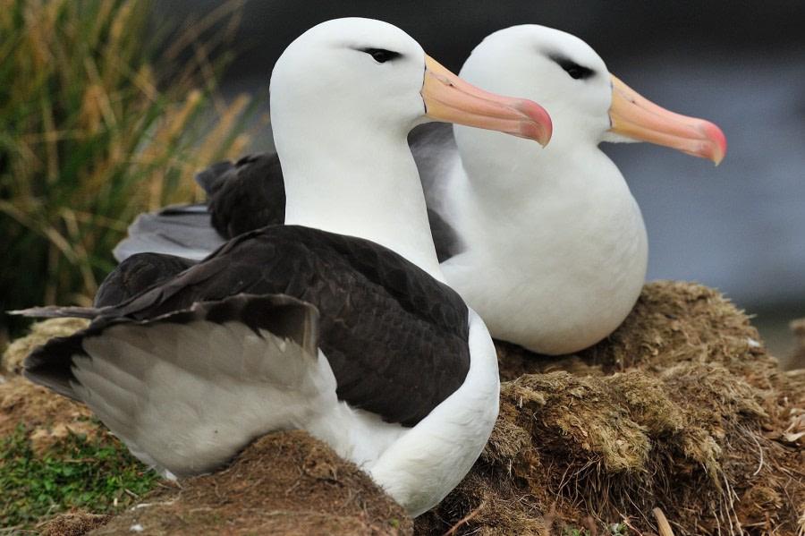 Black-browed Albatross, Steeple Jason Island, Falkland Islands, November