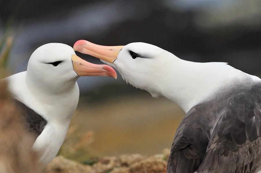 Black-browed Albatross_Falkland Islands_November