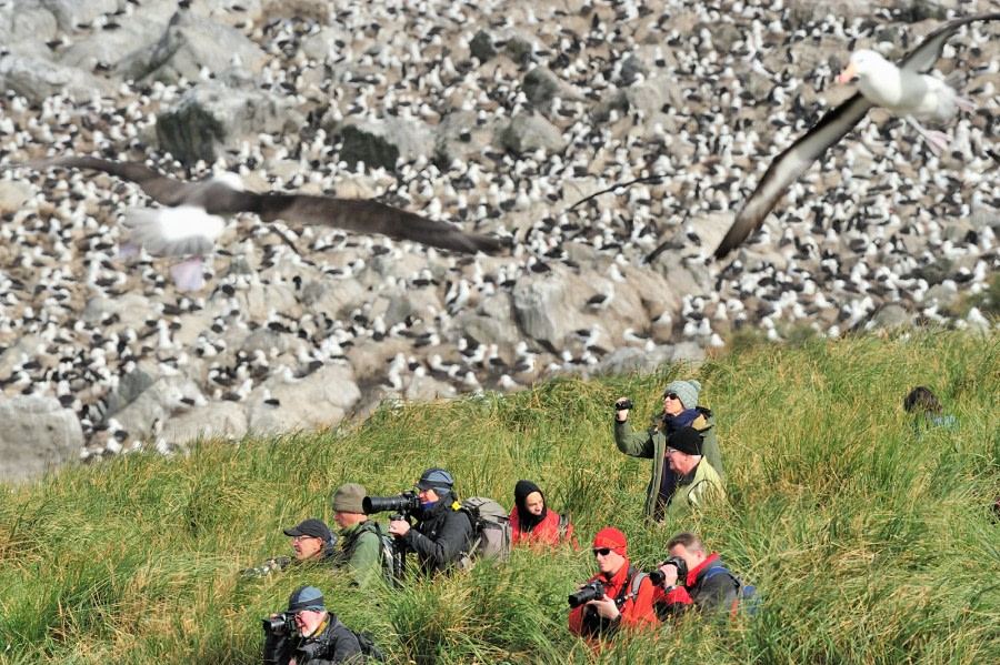 Black-browed Albatross colony_Steeple Jason Island_Falkland Islands_November