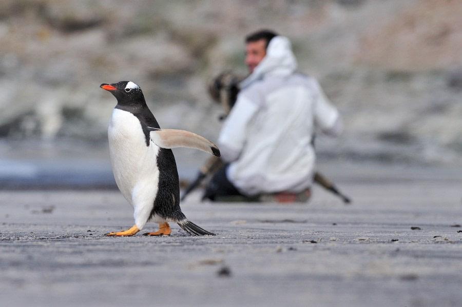 Gentoo Penguin on Saunders Island beach_Falkland Islands_November