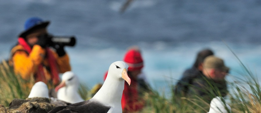 Black-browed Albatross_Falkland Islands_November