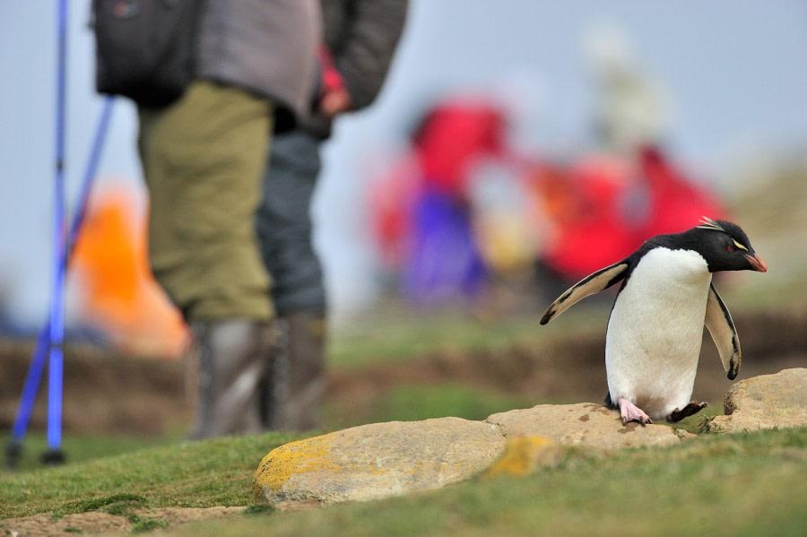 Rockhopper Penguin_Saunders Island_Falkland Islands_November