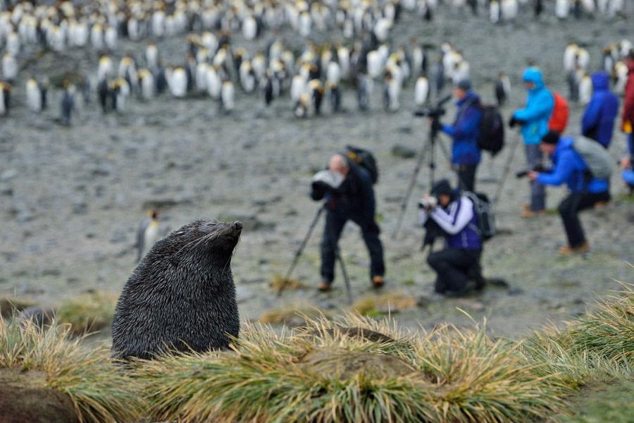 Fur Seals & King Penguins_South Georgia