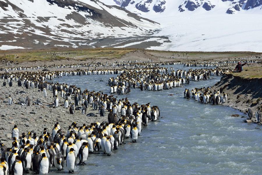 King Penguins_St Andrew's Bay_South Georgia_November