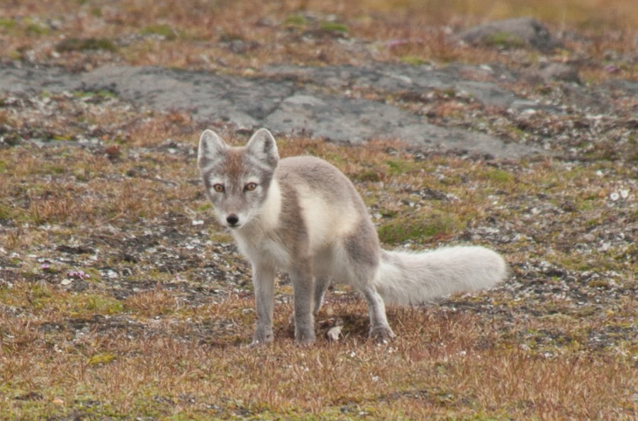 Arctic Fox, Spitsbergen, August © Erwin Vermeulen-Oceanwide Expeditions (1).jpg