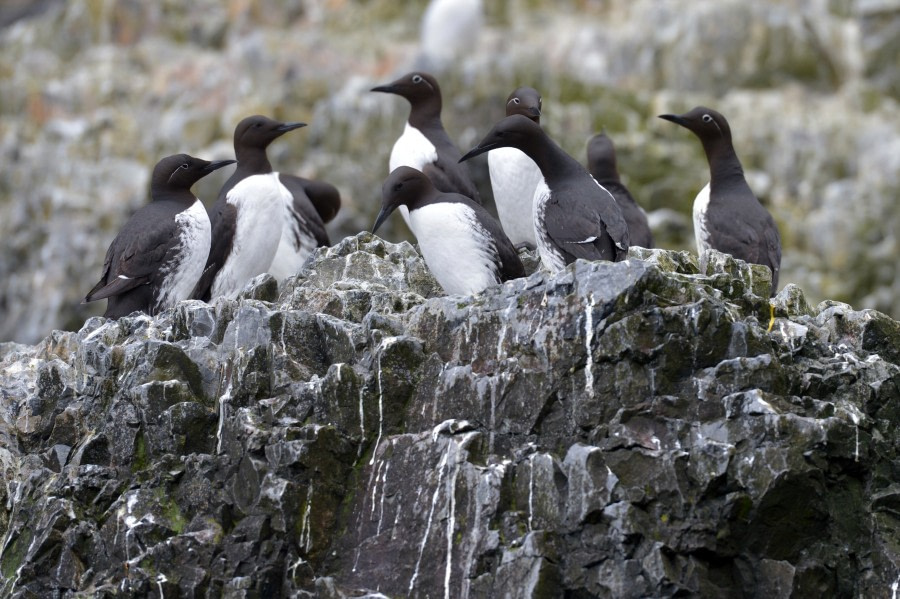Common Guillemot, Spitsbergen, Alkefjellet, Jun