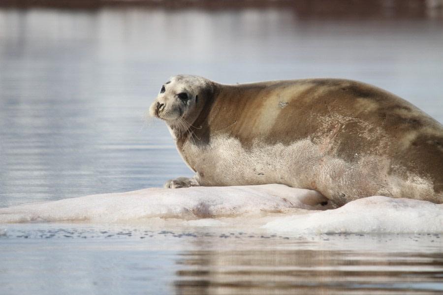 Bearded Seal, Spitsbergen, July © Joerg Ehrlich-Oceanwide Expeditions.jpg