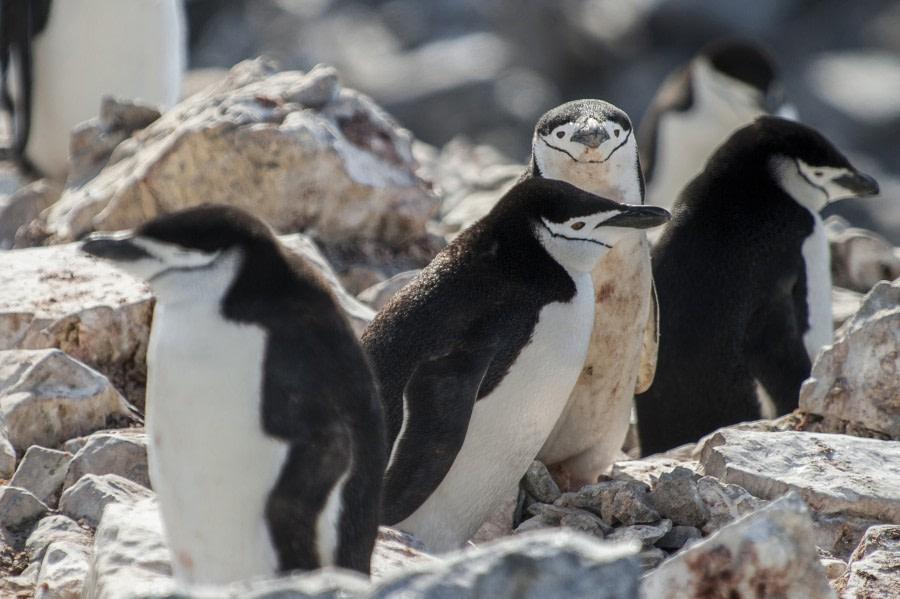 Chinstrap penguin, Feb © Morten Skovgaard-Oceanwide Expeditions (3).JPG