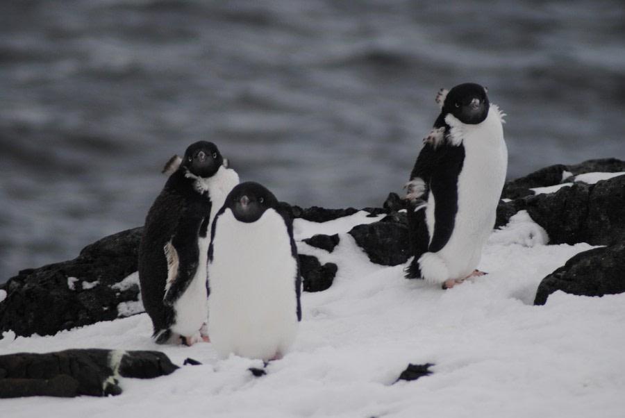 Adelie penguins, Detaille Island, Polar Circle, Antarctica © Jamie Scherbeijn-Oceanwide Expeditions (1).JPG