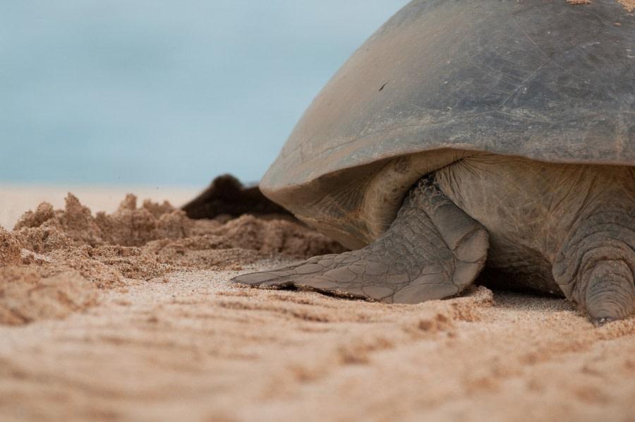 Green turtles, Ascension Island © Troels Jacobsen-Oceanwide Exeditions (1).JPG