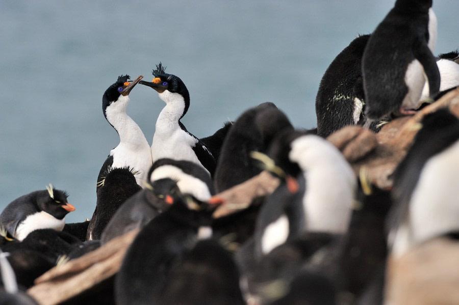 Rockhopper, Blue-eyed Shag, Saunders, Falkland Isl, Nov © Martin van Lokven-Oceanwide Expeditions.jpg