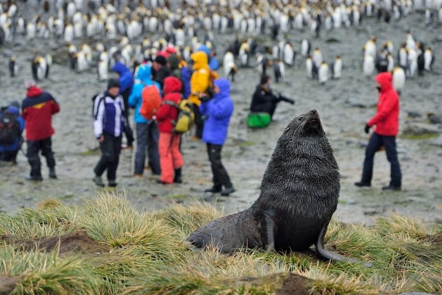 Fur Seal, King Penguins, Right Whale Bay, South Georgia, November © Martin van Lokven-Oceanwide Expeditions (1).jpg