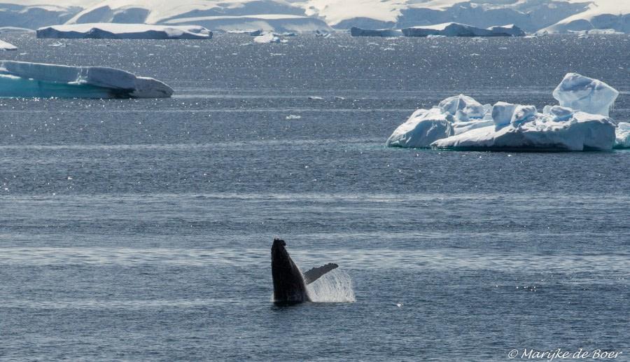 PLA25-16_31 Dec, Breaching humpback whale_ © Marijke de Boer-Oceanwide Expeditions.jpg