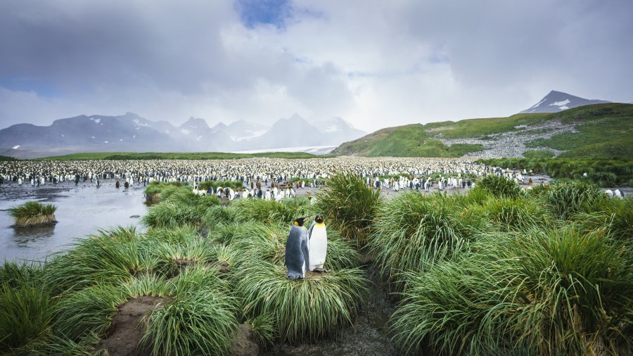 Salisbury Plain, South Georgia © Fotografie Dietmar Denger-Oceanwide Expeditions83.jpg