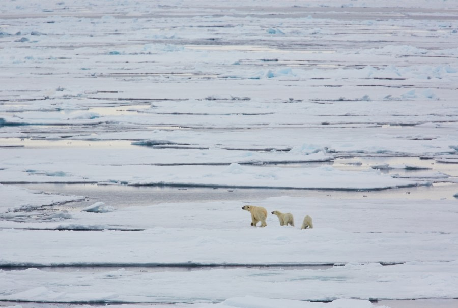 North Spitsbergen Polar Bear Special, June © Markus Eichenberger-Oceanwide Expeditions (62).jpg