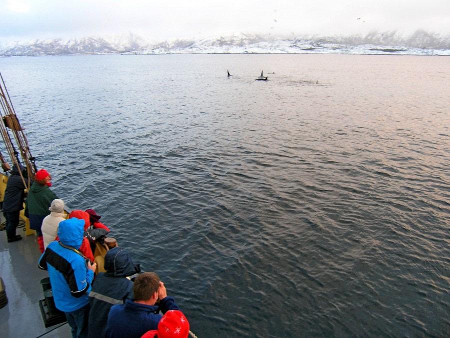 Orca in North Norway © Jan Belgers - Oceanwide Expeditions.jpg