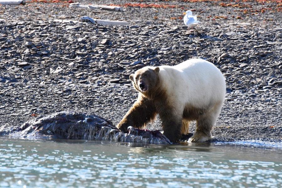 Freemansundet; polar bear; walrus; carcas; Svalbard-aug2017-Geert_Kroes-040.jpg