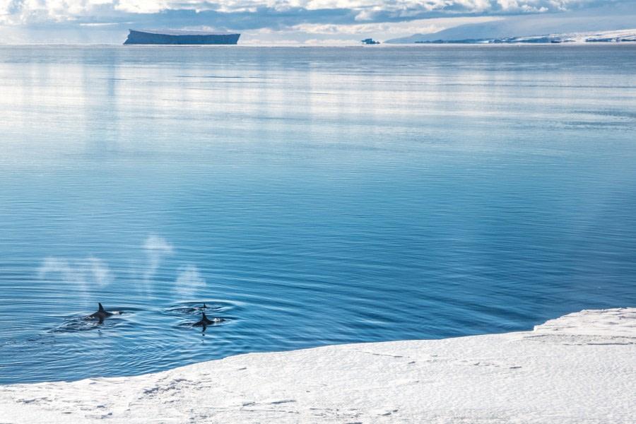 Killer Whales Ross Sea - Nicoel Smoot.jpg