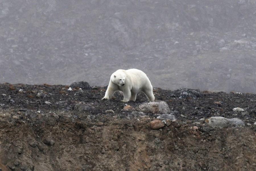 Danskoya; polar bear; sperm whale; carcas; Svalbard-aug2017-Geert_Kroes-013.jpg