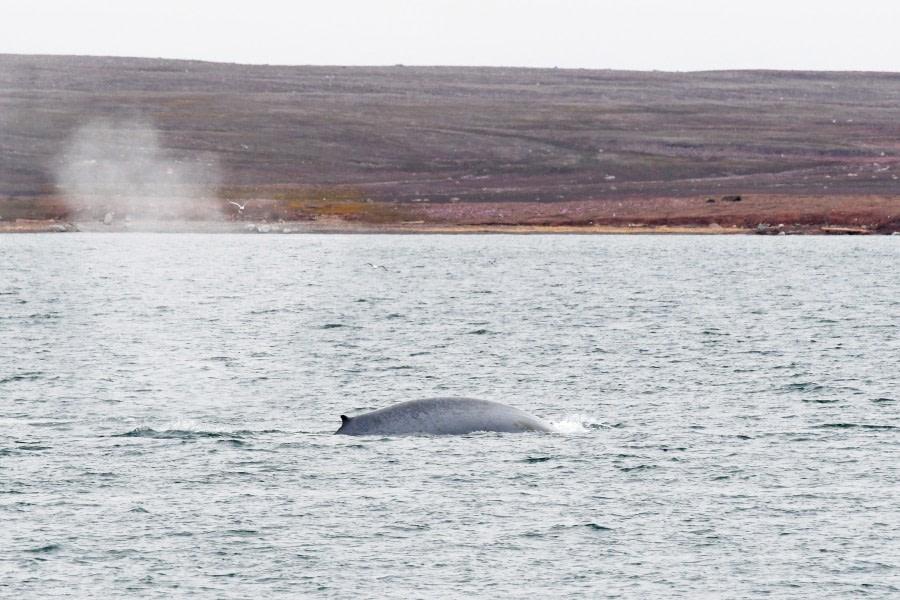 blue whale; Woodfjord; Svalbard-aug2017-Geert_Kroes-019.jpg