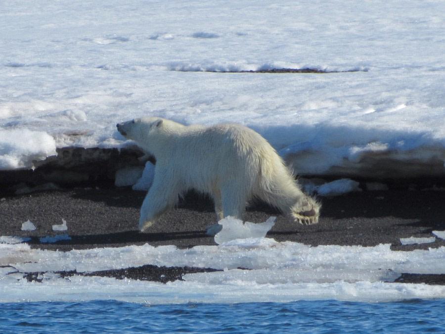 Polar bear, Svalbard, June © Michael Greenberg-Oceanwide Expeditions (1).jpg