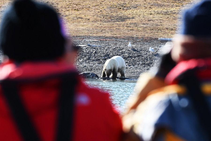 Freemansundet; polar bear; walrus; carcas; Svalbard-aug2017-Geert_Kroes-041.jpg