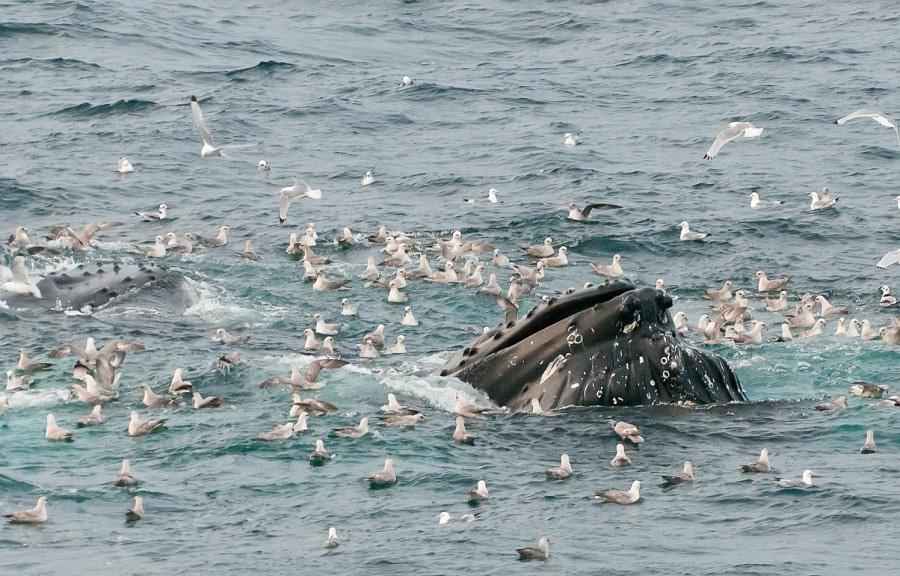 Storfjord_HumpbackHead_GerardBodineau-Oceanwide Expeditions.jpg