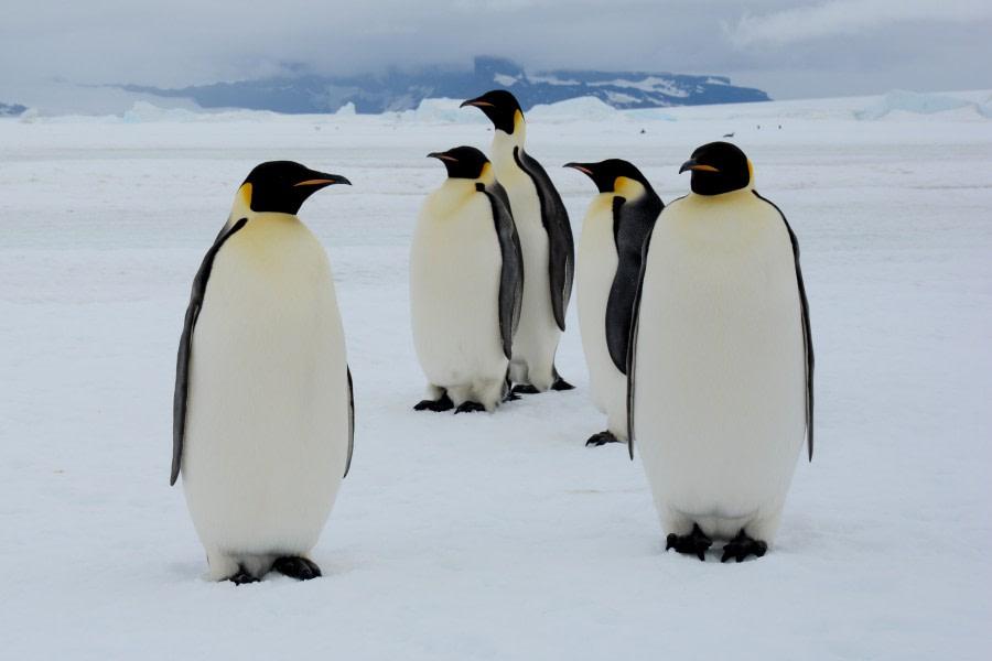 Emperor Penguins, Snow Hill Island, Weddell Sea, Antarctica © James Cresswell, Geo World Travel-Oceanwide Expeditions (3).jpg