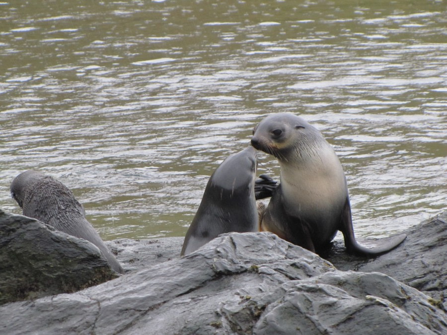 OTL29-18 Day 9 Godthul Fur seals © Oceanwide Expeditions.JPG