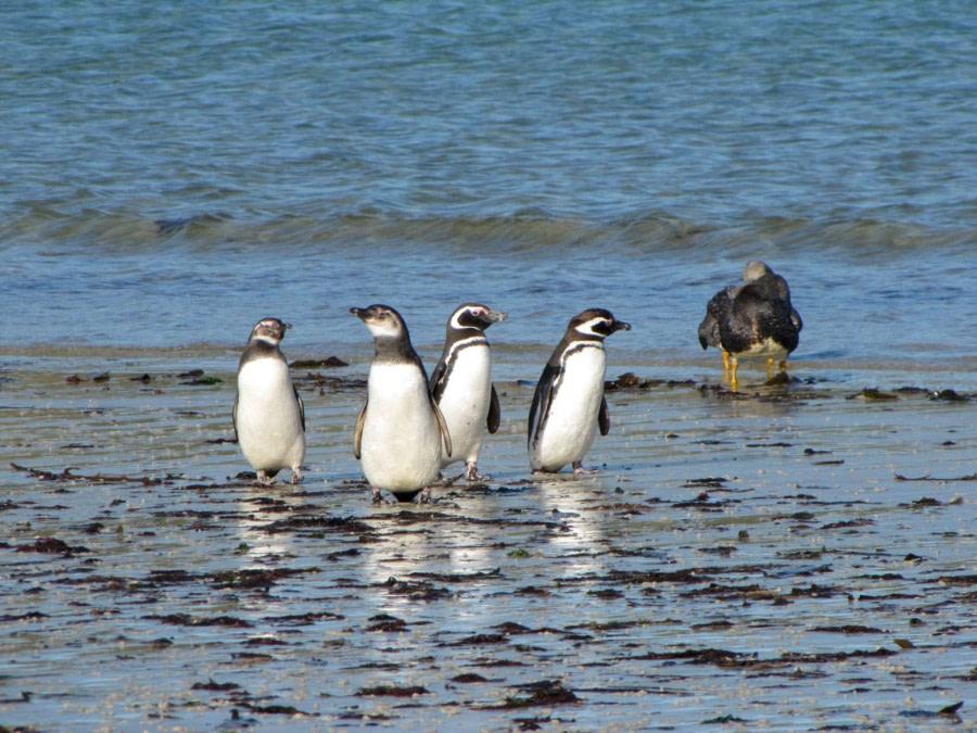 OTL29-18 Day 2 Carcass penguins 1 © Oceanwide Expeditions.JPG